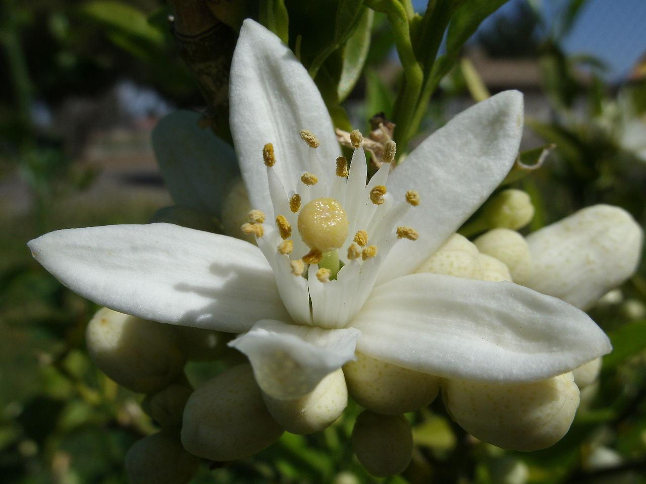 Neroli - Citrus Aurantifolia