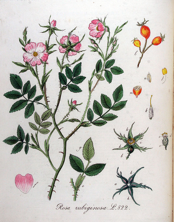 Proprietes Huile Vegetale Rose Musquee Du Chili Rosa Rubiginosa