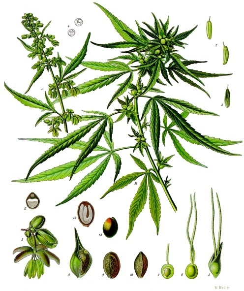 Cannabis sativa sp sativa